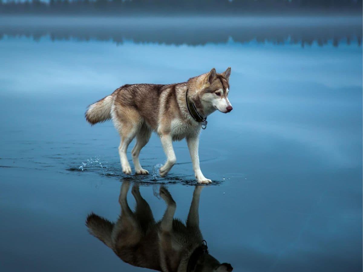 Alaskan Malamute Blog